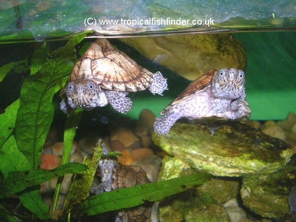 Tropical Fish Finder Co Uk The Ultimate Uk Fish Keeping